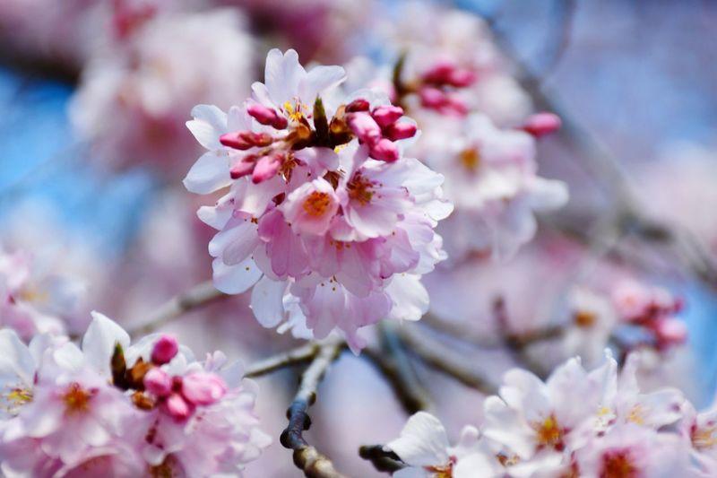 Sakura Flower EyeEm Best Shots - Nature EyeEm Best Shots - Flowers Sakura Cherry Blossom EyeEm Selects Flower Flowering Plant Freshness Plant Beauty In Nature Fragility Branch Close-up Pollen Pink Color Springtime Flower Head Blossom Petal Nature