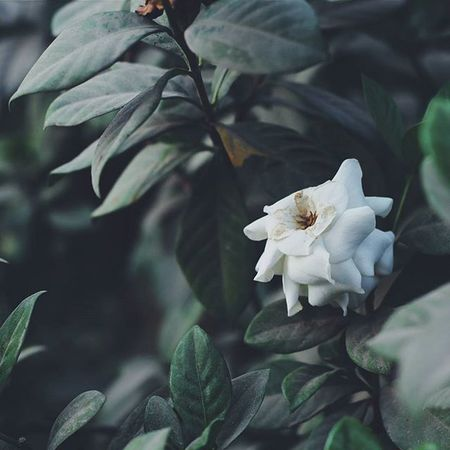 | 🍃 🌹 🍃 👆 | N ụ h ồ n g m o n g m a n h Vscocam VSCO Vscovietnam Vscoflowers Flower Hometown Green Roses White Fresh Morning Country Countryside Streetphotography Ontheroad Plant Nature Photo Photooftheday Instagood Instadaily Instamood