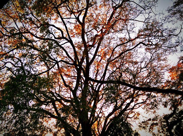 Trees Capilar