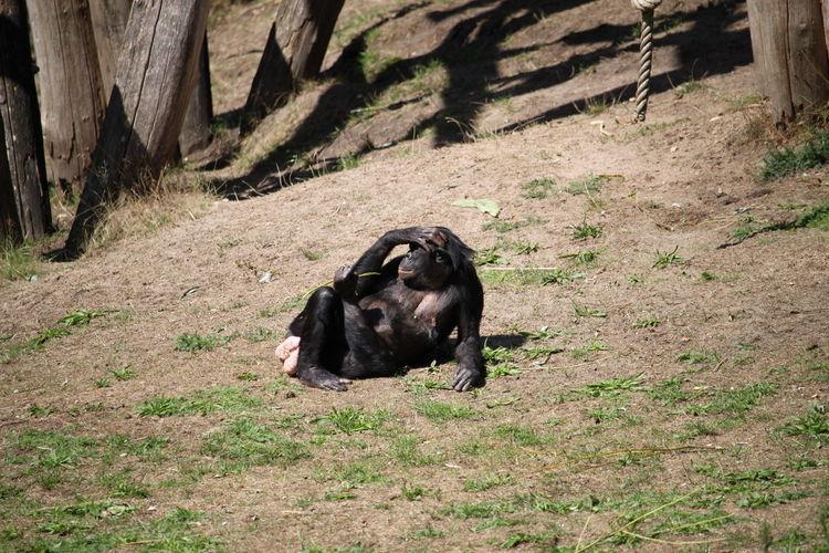 Apenheul Holland Relaxing Bonobo Schimpanse Grass