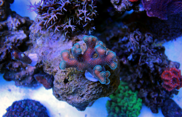 Animal Themes Animal Wildlife Animals In The Wild Beauty In Nature Blue Close-up Coral Day Nature No People One Animal Outdoors Sea Sea Life UnderSea Underwater Water Styllophora Sps Coral Polyps Goby Aquarium Reef Reef Coral Photography