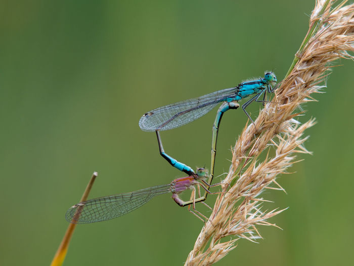 Close-up of two dragonflies mating