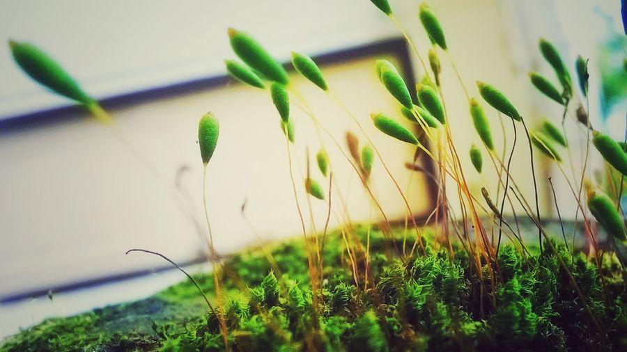 Maximum Closeness Fragility Growth Funaria Moss Freshness