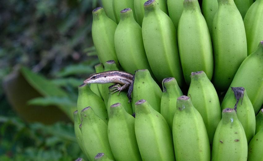 Lizard & Bananas Banana Green Life Living Lizard Lizards Reptile Seychelles Tropics Banana Banana Tree Bananas Close-up Ecology Food And Drink Fresh Fruit Fruits Green Color Island Reptiles Small Squamate Squamate Reptiles Tropical