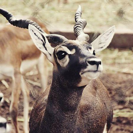 Animal Horns Beautiful Love Wildlife Nature Photography Closeup Nikonphotography D5200nikon