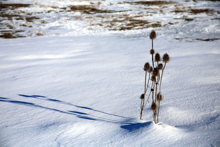 Thistle plant with shadow cast on the snowy surface, in winter at sunset