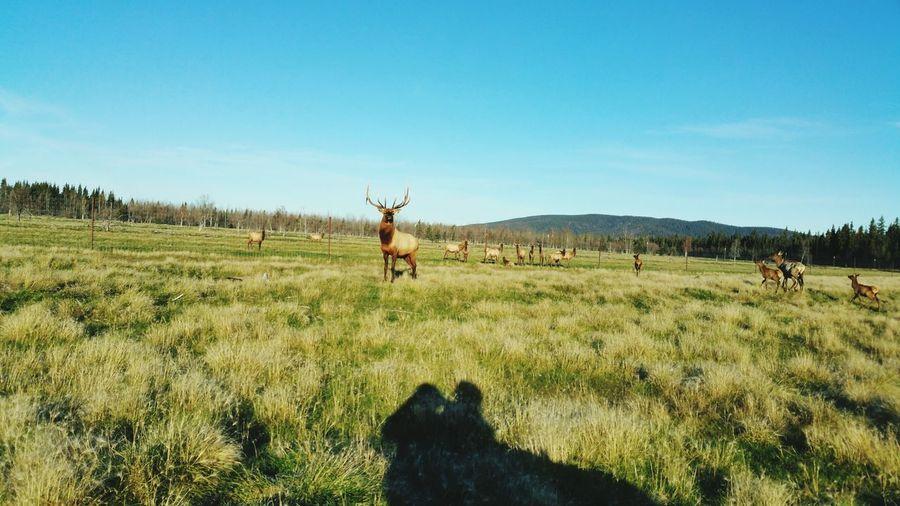 Bull Elk Clear Sky Full Length Tree Walking Sky Grass Landscape