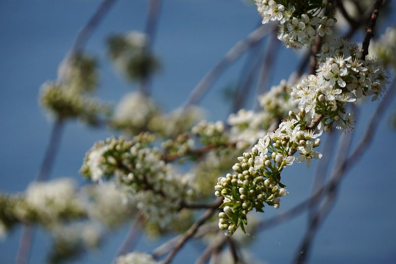 Plant Flower Flowering Plant Beauty In Nature Growth Tree Nature Fragility Day Close-up Branch Focus On Foreground Freshness White Color No People Vulnerability  Springtime Low Angle View Blossom Sunlight