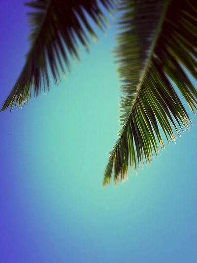 #sky #sun Palm Leaf Palm Frond Frond Growth Nature Beauty In Nature Tree Outdoors Day Freshness Sky Clear Sky Blue Leaf No People
