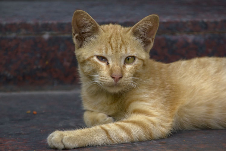 Brown cats lying on the floor looking. Looking Cat Brown Cats Cat Close-up Day Domestic Domestic Animals Domestic Cat Feline Focus On Foreground Ginger Cat Looking At Camera Looking Cat Outside Mammal No People One Animal Pets Portrait Relaxation Vertebrate Whisker