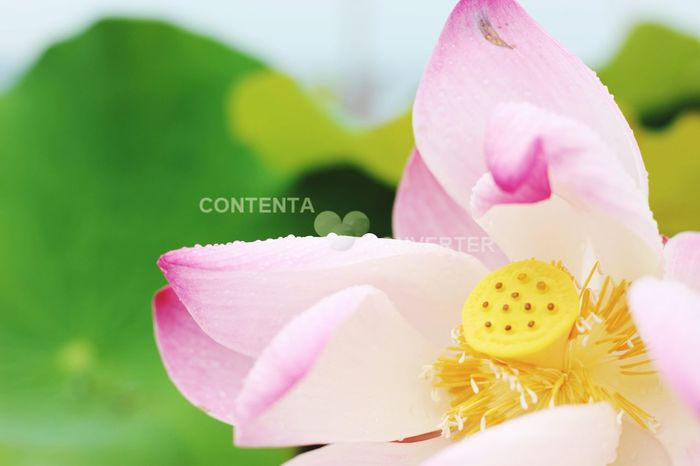 Lotus Flower Lotus Lake Nature Photography Natural Beauty