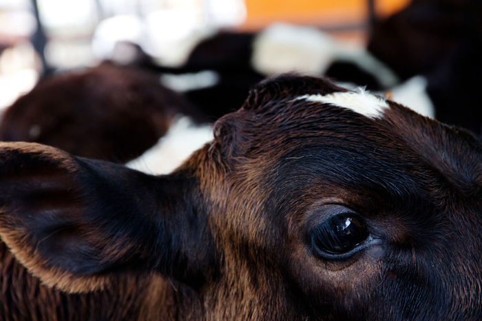 cow Animal Eye Animal Themes Brown Close-up Cow Day Domestic Animals Focus On Foreground Indoors  Mammal No People One Animal Pets Portrait Of A Cow