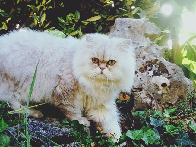 MyLion Cat Animals Animal Photography Persan Whitecat blacksilvershadedcat First Eyeem Photo