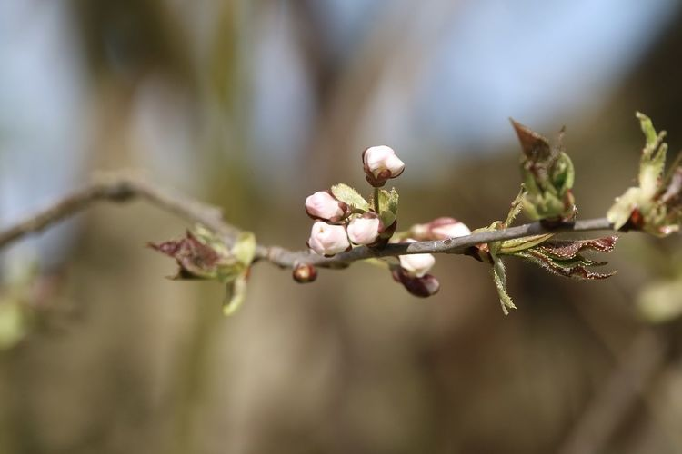 Close-up of fresh red flower buds on twig