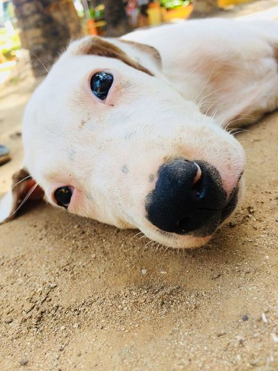 Puppy and the beautiful eyes Dog Pets One Animal Animal Themes Mammal Domestic Animals Sand No People Close-up Day Portrait Nature Outdoors