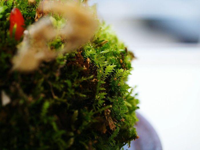 こけ玉Koke Kokedama Green Natural Photo Japan Cute Macro Macro Photography EyeEm Nature Lover Macro_collection Macrophotography Macro_collection Macrolove