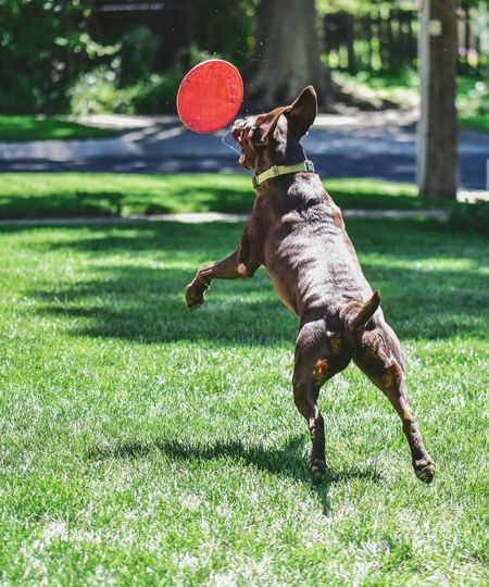Labrador retriever playing catch One Animal Dog Grass Pets Domestic Animals Animal Themes Green Color No People Mammal Outdoors Day Bradleywarren Photography Bradley Olson Chocolate Labrador Retriever Running Mans Best Friend Frisbee Dogs Pet Labrador Retriever Playing Animal Jumping Action Toss And Turn Pet Portraits