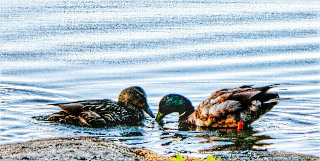 Ducks Beauty In Nature Littoisten Järvi Nature Close-up Think Positive