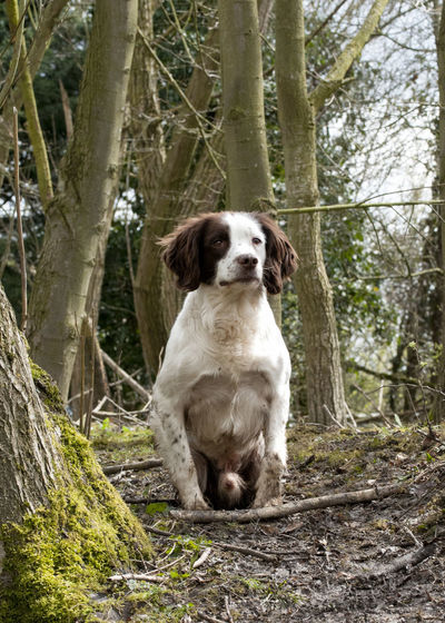 Dog Photography Dog Portrait Dogs Gundogs Outdoors Portrait Springer Spaniels Working Dogs