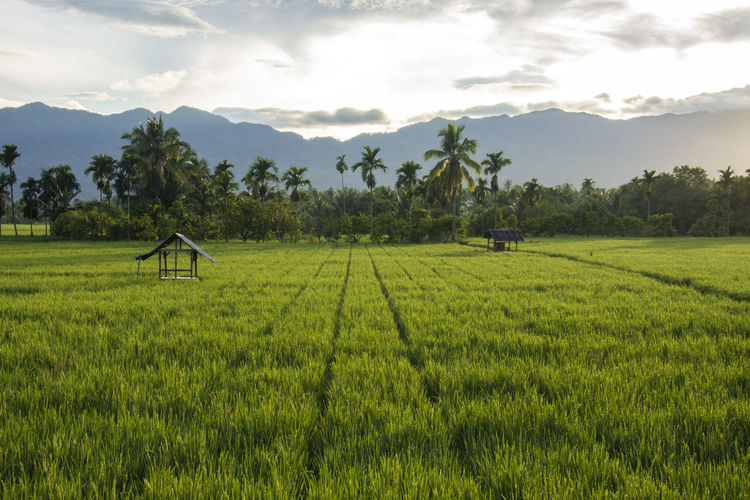 Plant Landscape Agriculture Sky Scenics - Nature Land Field Growth Beauty In Nature Green Color Environment Tree Tranquil Scene Nature Farm Rural Scene Tranquility Cloud - Sky Rice - Cereal Plant Outdoors No People Plantation Rice Field Rice Paddy Fields View Rice Paddy