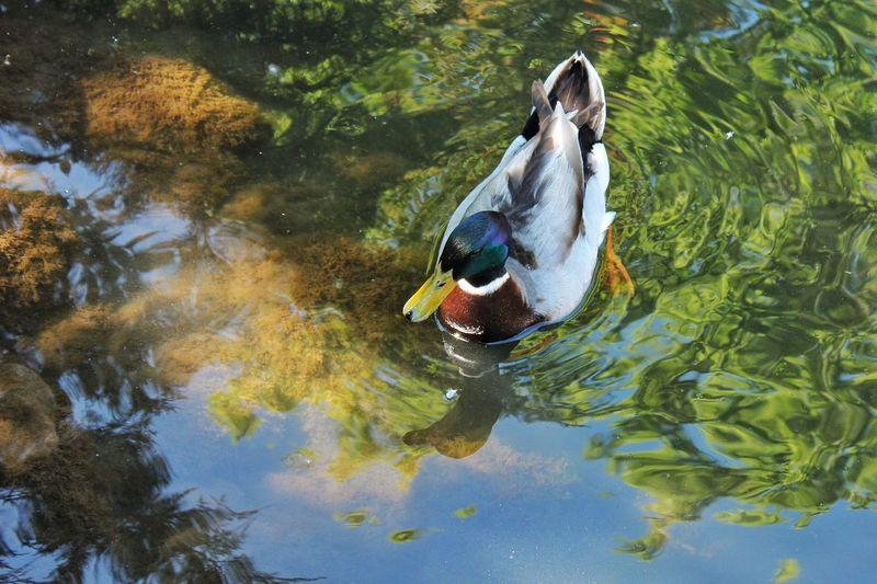 High Angle View Of Male Mallard Duck Swimming In Lake
