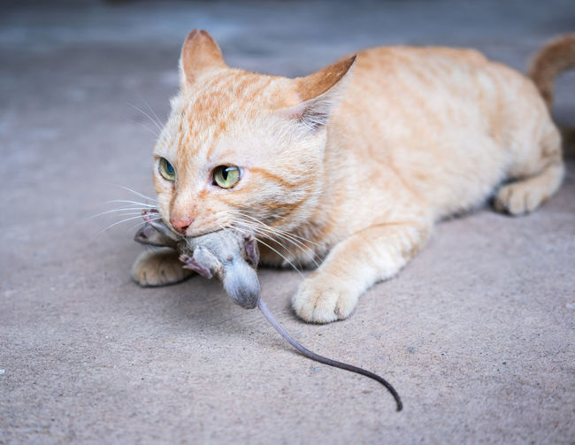 Close-Up Of Cat Carrying Mouse In Mouth