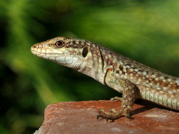 Animal Wildlife One Animal Animals In The Wild Reptile Animal Animal Themes Nature No People Outdoors Day Close-up Lizard Lizard Nature Lizard Close Up Lizard Watching