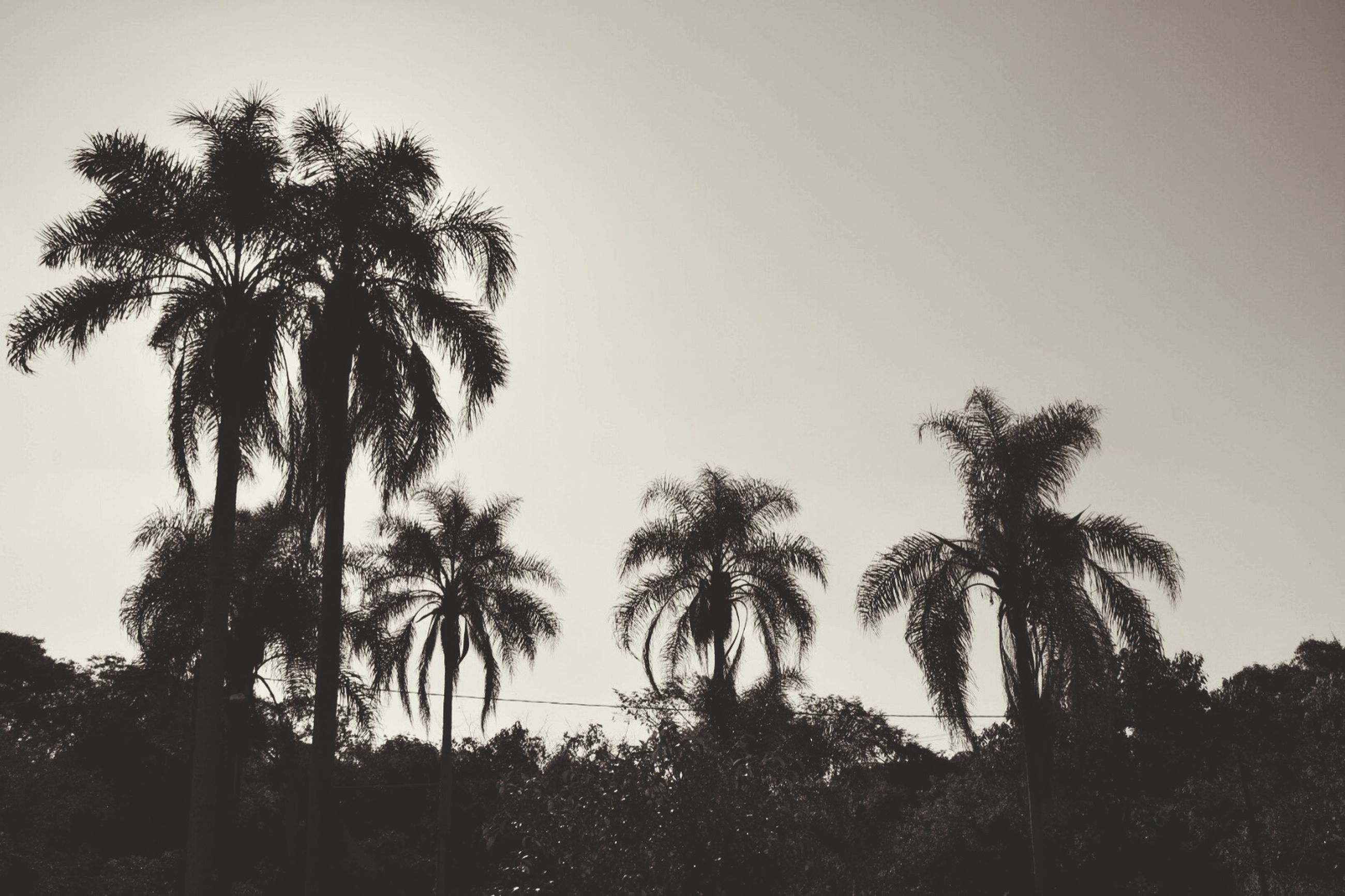 palm tree, tree, clear sky, low angle view, growth, tranquility, silhouette, tranquil scene, nature, beauty in nature, sky, copy space, scenics, tree trunk, coconut palm tree, outdoors, no people, tall - high, day, idyllic