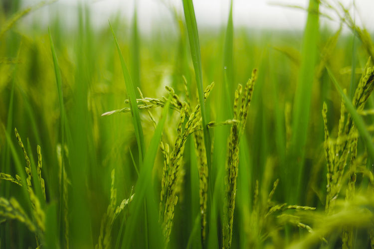 Thai rice. ##THAIRICE Cereal Plant Wheat Agriculture Rural Scene Backgrounds Field Rice Paddy Crop  Close-up Grass Ear Of Wheat Grain Plant Stem Bud Sepal New Life Thistle In Bloom Botany Cultivated Land Barley Rice - Cereal Plant Plantation Agricultural Field Cultivated Farmland Plant Life Farm