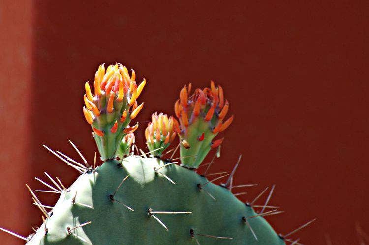 Cactus flower buds at the Phoenix Desert Botanical Garden Nature