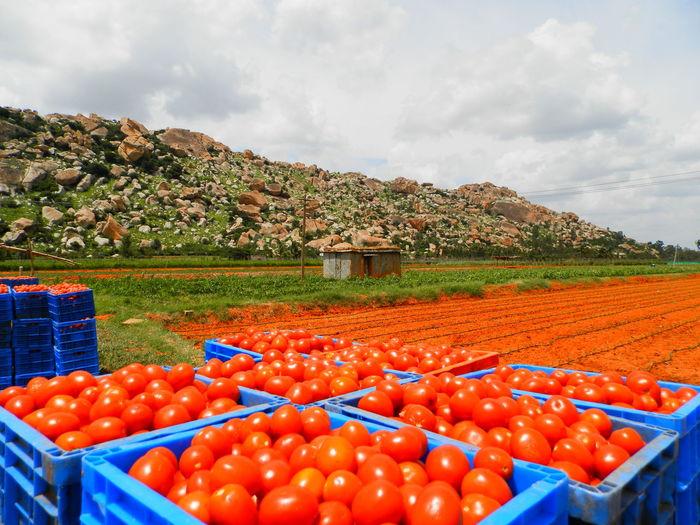 Full frame shot of tomato field