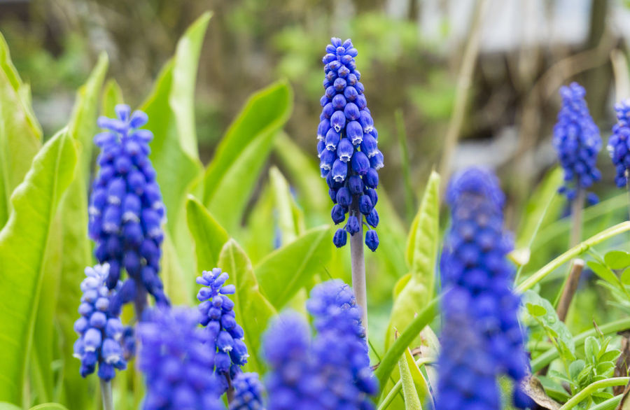 Grape Hyacinths Background Beautiful Cultivate Outdoor Field Grass Close-up Flowering Spring Plants Garden Freshness Colors Green Growing Growth Nature Violet Purple Grape Hyacinths Blooming Muscari Flowers Hyacinths Seasons
