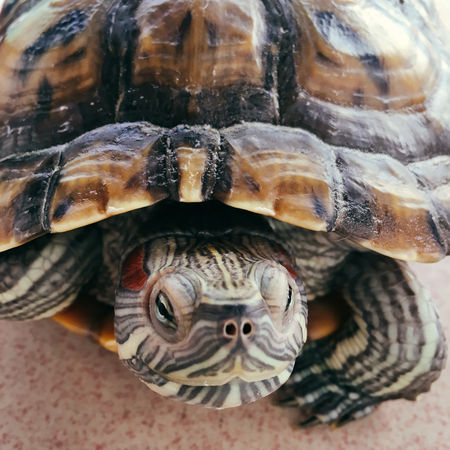 Animal Shell Animal Themes Animal Wildlife Animals In The Wild Close-up Day No People One Animal Outdoors Red-eared Slider Reptile Sea Life Tortoise Tortoise Shell