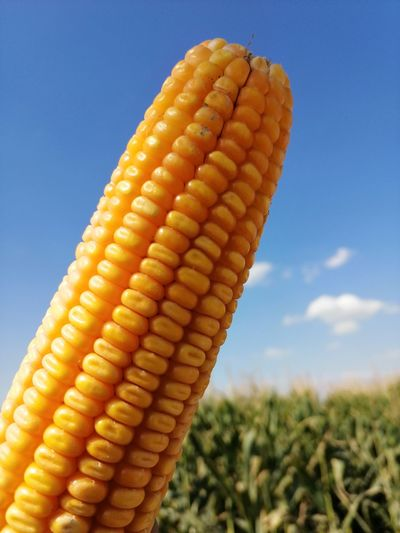 Close-up of corn on field against sky