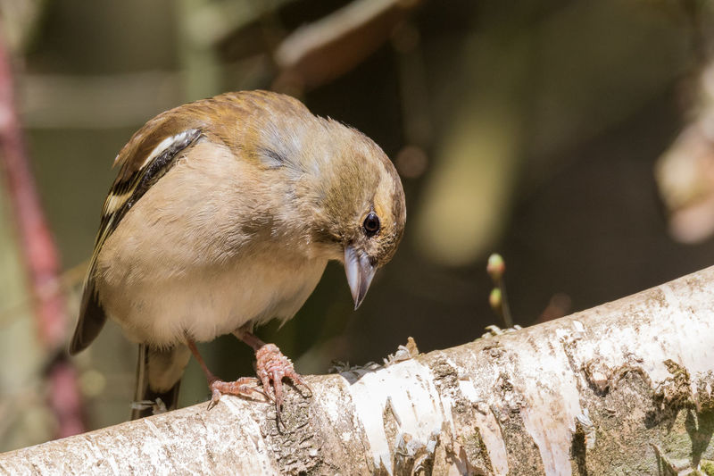 Sick chaffinch with a bird disease on the claw