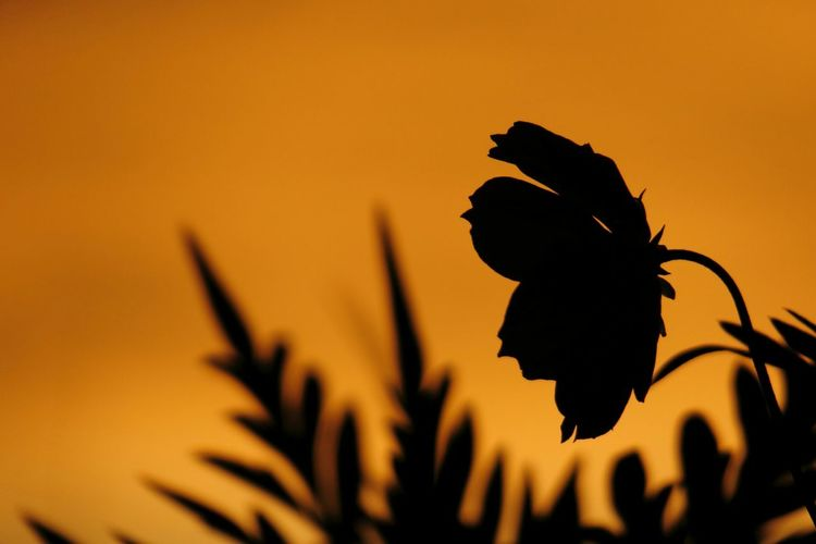 Sunset Silhouette Cosmos Flower Flowerporn EyeEm Best Shots - Nature