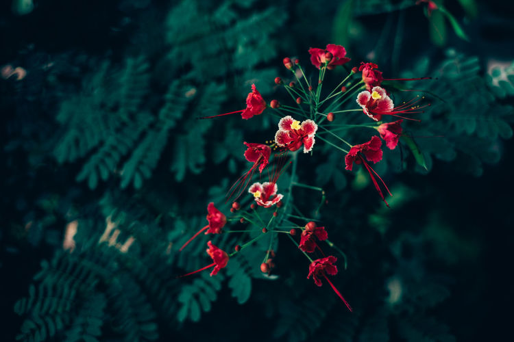 Beauty In Nature Blooming Blossom Botany Close-up Contrast Copy Space Day Delicate Fire Tree Flower Fragility Freshness Garden Growth Matte Nature Outdoors Plant Red Tree Art Is Everywhere EyeEmNewHere