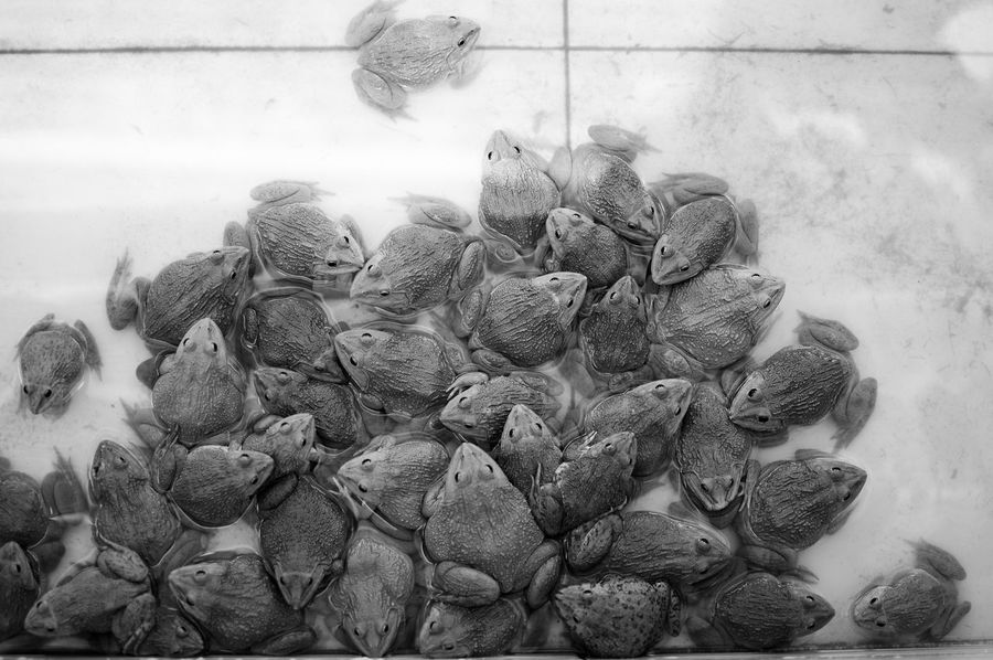 Watching a large group of frogs during a tour through the Mekong Delta, Vietnam. Animals Beauty In Nature Blackandwhite Close-up Day Focus On Foreground Fragility Frog Frogs Group Growth Large Group Of Objects Looking Down Looking Down From Above Monochrome Photography Nature New Life No People Outdoors View From Above