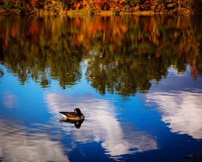Clouds Reflection Outdoor Photography Nature_perfection Nature_collection Landscape_photography Landscape_Collection Animals In The Wild Animal Themes Water Animal Wildlife Animal Bird Lake Reflection Nature Duck Beauty In Nature No People Outdoors One Animal