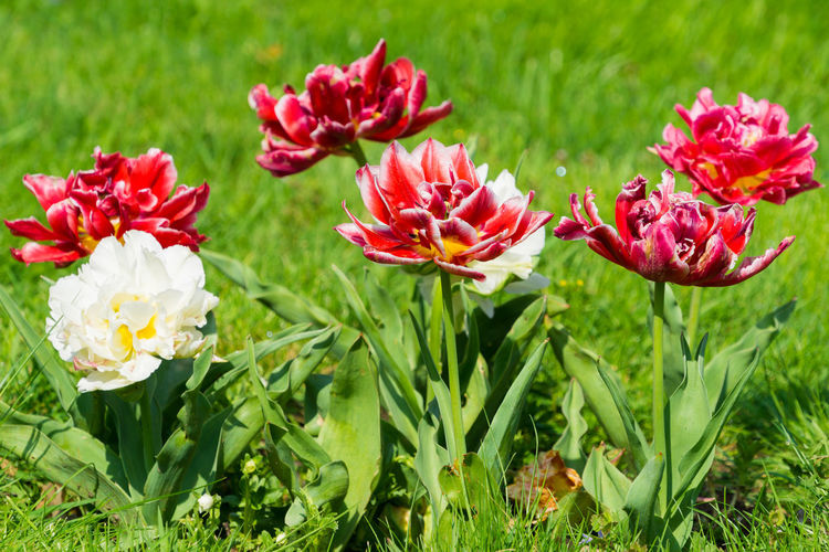 Flowering Tulips in Spring Tulips Tulip Beautiful Bright Bright Colors Freshness Green Color Growing Growth Nature Red Colorful Flower Head Flowerbed Flowers Garden Inflorescence Meadow Petal Pourple Roses Vulnerability  White Color