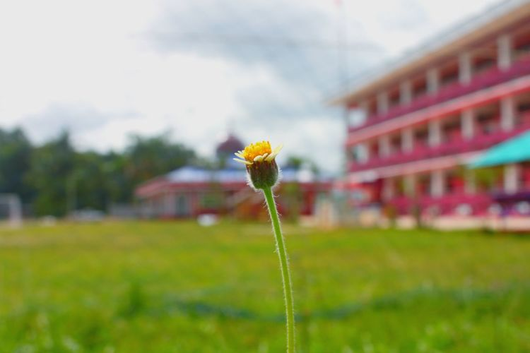 Flower Nature Sky Masjid School Grass No People Freshness Beauty In Nature Outdoors Focus On Foreground Fragility Close-up Flower Head Plant Growth Drm ดอกไม้ ดารุลมาอาเรฟ First Eyeem Photo