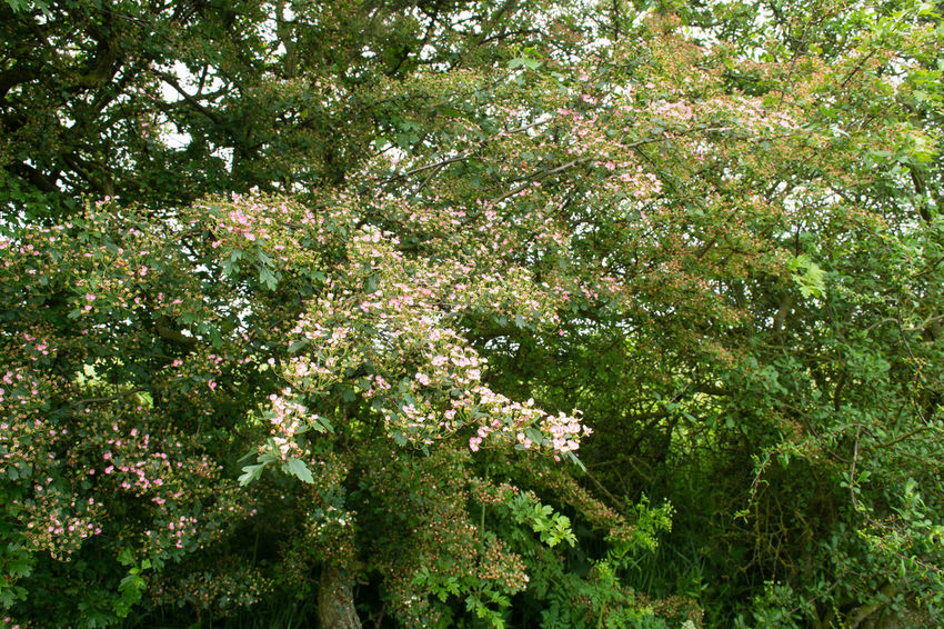 Small pink hawthorn flowers growing in English Hedgerow in summer Haewthorne Beauty In Nature Blossom Contryside Flower Flowering Plant Freshness Growth Outdoors Plant Springtime Wild
