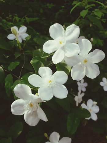 Flower Flower Head White Color Flower White Beauty In Nature Outdoors Treeใน Bangkok Thailand