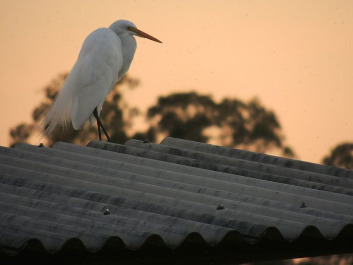 Low angle view of great egret perching on roof against sky during sunset