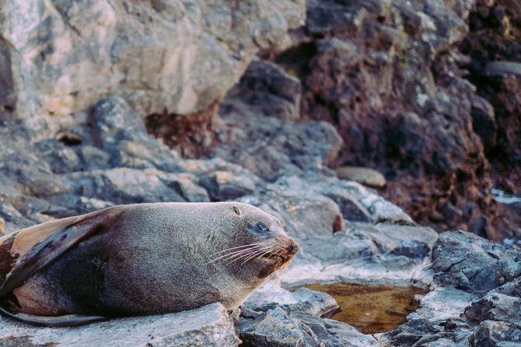 Seal lay down on rock at sea shore