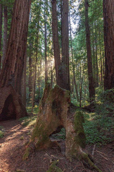 Tree Forest Plant Trunk Land Tree Trunk WoodLand Tranquility Scenics - Nature Day Nature Tranquil Scene Beauty In Nature Growth No People Environment Non-urban Scene Outdoors Sunlight Landscape Redwoods