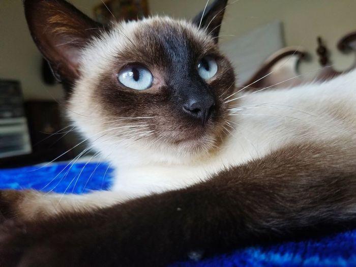 Siamese Blue