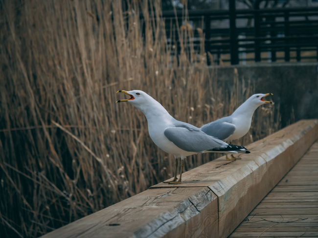 Animal Animal Themes Animal Wildlife Animals In The Wild Architecture Bird Built Structure Day Focus On Foreground Nature No People One Animal Outdoors Perching Railing Seagull Vertebrate Water Wood Wood - Material