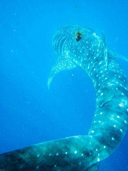 Animals In The Wild Blue Diving Fish In The Ocean Nature Nature_collection Ocean Sharkwhale Snorkelling UnderSea Underwater Underwaterphotography Whale Whaleshark Wildlife Wildlife & Nature Wildlife Photography Wildlifephotography