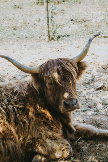 Highland cattle resting on field